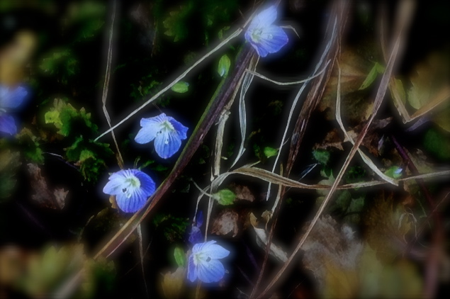 Violets on The Forest Floor